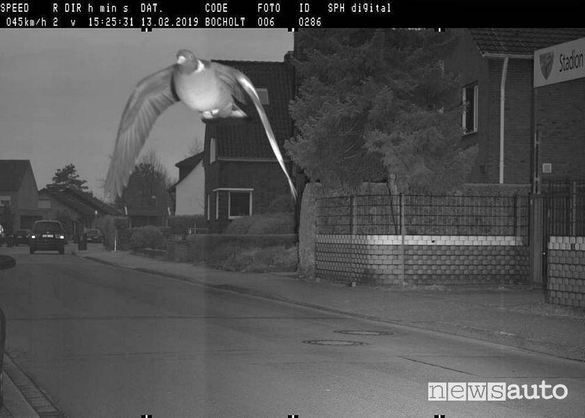 Un piccione fa scattare l'autovelox in Germania, volando a 45 km/h in un tratto di strada dove il limite era di 30 km/h