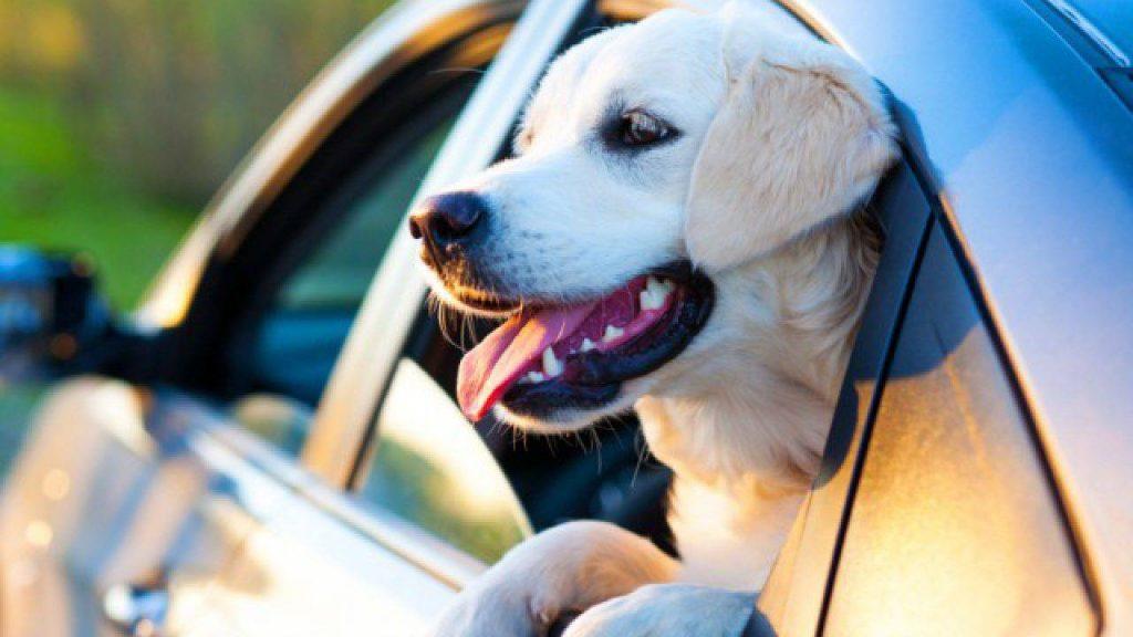 Cane al finestrino dell'auto prende fresco